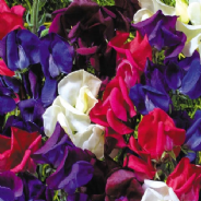 Sweet Pea - Old Spice - Starry Night - 15 seeds